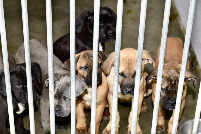 Nog eens 41 honden in beslag genomen bij fokker (waar al 68 dieren werden weggehaald)