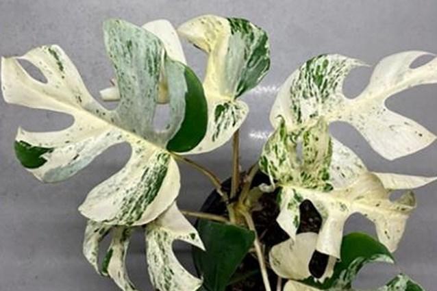 'Zeldzame' kamerplant met 9 bladeren geveild voor 19.297 dollar