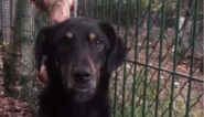Ongrijpbare hond uit Eindhoven na 52 dagen toch gevangen in Houthalen-Helchteren