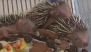 Veel gewonde egels in opvangcentrum: het gevaar van robotmaaiers