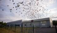Mist, warmte of iets anders? Duizenden jonge duiven zoek geraakt bij rampvlucht