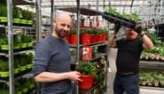 """Miljoenenverlies aan begin van crisis, nu doen siertelers en tuincentra het beter dan ooit: """"We zitten zelfs met plantentekorten"""""""