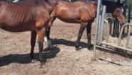 """Twee paarden in beslag genomen in Bilzen: """"Hebben het overleefd dankzij buren"""""""