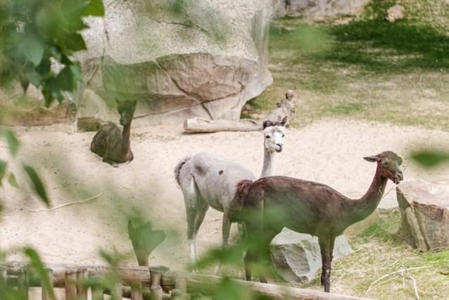 Alpaca's verhuizen van Planckendael naar Antwerpen