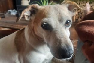 """Grootschalige zoektocht naar hondje Kira dat verdween in Hazewinkel: """"Ik blijf hopen"""""""