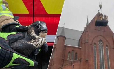 Brandweer moet slechtvalk redden uit kerktoren in Ronse