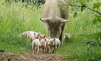 Varken bestemd voor de slacht ontsnapt uit kwekerij om in het bos te bevallen van tien biggetjes