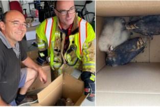 Bijzondere reddingsactie: 'Akelige geluiden' in schoorsteen blijken afkomstig van nest jonge kerkuiltjes