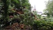 Het einde van een monument in Overmere: eeuwenoude es begeeft het