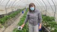 Onderzoekers UHasselt kweken aardbeien met behulp van afvalstoffen