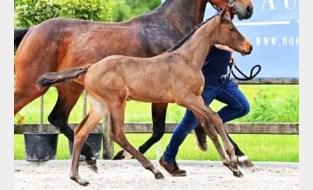 Eerste online paardenveiling is een internationaal succes