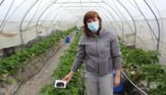 Onderzoekers kweken aardbeien met afvalstoffen