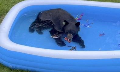"""Oververhitte beer zoekt afkoeling in zwembad: """"Hij speelde met de bootjes van mijn zoon"""""""