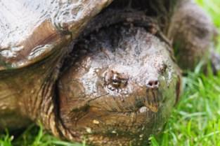 """Waarom er zoveel zwerfschildpadden op straat dolen: """"Actiever door warmte en eierlegdrang"""""""
