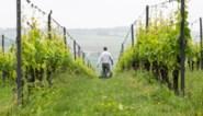 Vlaanderen wijnland: Afgelopen jaar 1,1 miljoen flessen wijn geproduceerd in Vlaanderen
