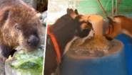 'Zoo' warm! Deze dieren worden op creatieve manieren koel gehouden in de dierentuin