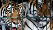 Californische zoo vaccineert al haar dieren tegen coronavirus: zijn er bij ons ook plannen in die richting?