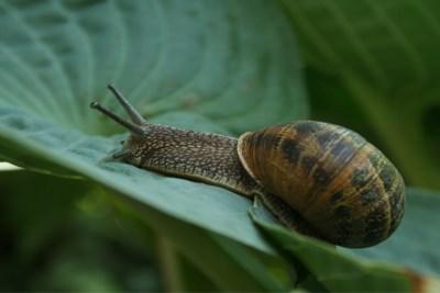 Waarom je momenteel zoveel slakken in je tuin ziet