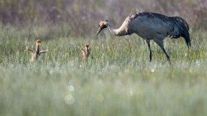 Primeur voor België: twee kraanvogels geboren in Vallei van de Zwarte Beek