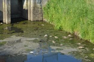 "Oorzaak plotse vissterfte Handzamevaart bekend: ""Ze stikten door teveel aan rioolwater na plensbui"""