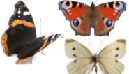 Het grote vlindertelweekend van Natuurpunt: zo kan je eenvoudig zelf deelnemen