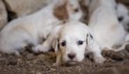 "Wallonië wil einde maken aan ""puppyfabrieken"""
