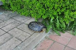 Opvallend veel waterschildpadden gevonden
