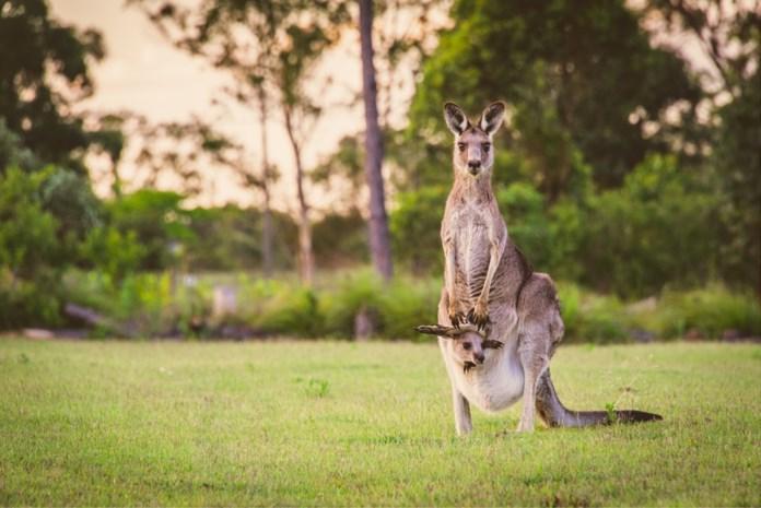 Kangoeroe overleeft botsing op weg niet