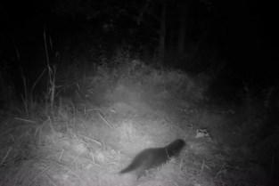 Wildcamera levert bewijs van otter in Rupelstreek