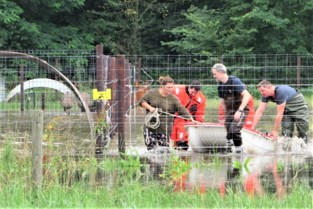 Brandweer evacueert hangbuikvarkens, geiten, schapen en pluimvee met bootje uit ondergelopen weide