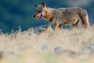 Vlaanderen krikt subsidies voor wolfwerende omheining op tot 90 procent voor particulieren