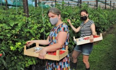 Zelfplukdagen leren deelnemers de moeilijke teelt van de tere framboos