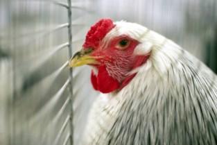 """Vogelgriep vastgesteld in kippenren vlak bij natuurgebied: """"Wellicht zijn wilde vogels de boosdoener"""""""