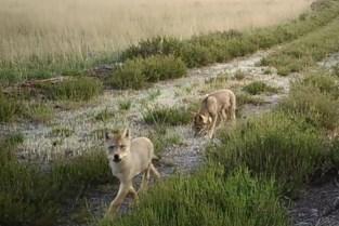 Nieuwe beelden: minstens 5 welpen in 2021, voor het eerst ook wolf in Hageven gefilmd