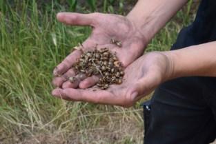 Coloradokevers duiken weer massaal op (maar zijn niet schadelijk)