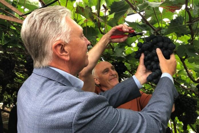 VTM-nieuwsanker Dany Verstraeten trapt druivenseizoen op gang en plukt eerste druiventros