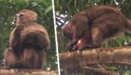 """Kapucijnaap verbaast toerist door aansteker met zijn handen te gebruiken: """"Dit is evolutie, recht voor mijn neus"""""""