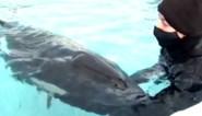 Baby-orka overlijdt na dagenlange vruchteloze zoektocht voor moeder