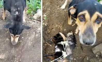 Hartverscheurend: rouwende hond begraaft haar dode puppy's