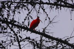 Rode ibis gespot op grens van Arendonk en Oud-Turnhout
