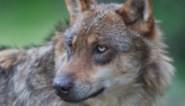 """Stroomdraad en bewaakt door twee honden, toch 'massamoord': """"Zelfs zoon werd achtervolgd door wolf"""""""