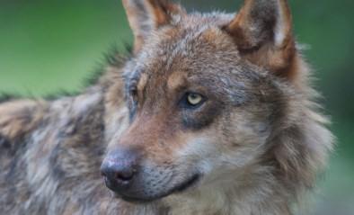 """Stroomdraad en bewaakt door honden, toch 'massamoord': """"Zelfs zoon werd achtervolgd door wolf"""""""