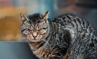 """""""Dieren zijn vervangbaar"""": Vlaamse overheid wil geen schadevergoeding betalen voor onterecht afgenomen kat"""
