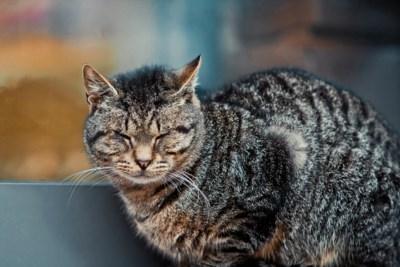 """Kat verdwijnt nadat ze onterecht wordt afgenomen, maar baasje """"moet niet doen alsof haar wereld is ingestort"""""""