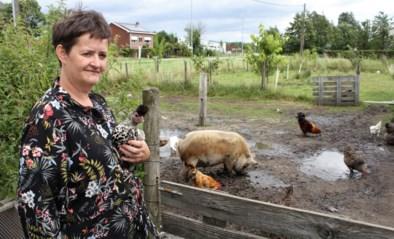 Liers gezin krijgt vier keer bezoek van kippendief
