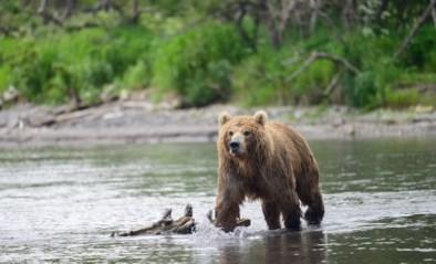 Beer doodt man in natuurpark in Siberië, tweede dodelijke incident