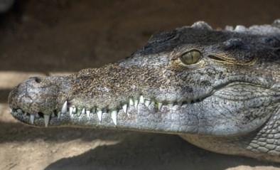 Vrouw wordt voor ogen van vriendin in het water gesleurd door krokodil