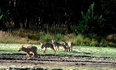 Vrees dat wolven steeds minder schuw worden, maar wetenschappers noemen het normaal gedrag