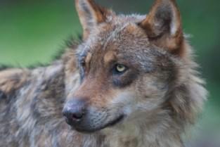 """Al negen dode schapen na wolvenaanval op militair domein: """"Vermiste dieren zijn ook dood"""""""