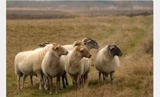De job van je leven? Herder gezocht voor 350 schapen ... in wolvengebied